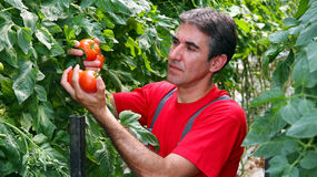 Commercial Production of Fresh Market Tomatoes. Portrait of a farmer with ripe, red tomatoes in his hand Royalty Free Stock Photography