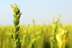 Commercial Spring Wheat. Spring wheat closeup, mid season. This cerial grain crop variety is spring wheat and is planted in early in the season Stock Photo