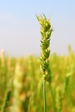 Commercial Spring Wheat Crop. This cerial grain version of Spring Wheat is planted early in the season, compared to winter wheat, planted in the autumn Stock Images
