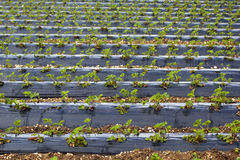 Commercial strawberry fields stock photos