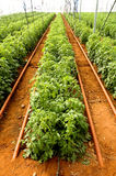 Commercial tomato production in a greenhouse royalty free stock image