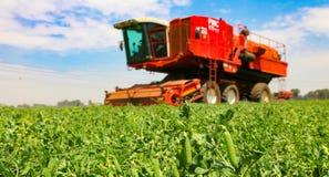 Commercieel Pea Farming met een Combine Maaidorser stock foto's