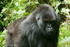 Commercio della gorilla Fotografia Stock