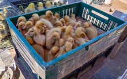 Commercio di piccoli anatroccoli nel mercato del pollame Immagini Stock