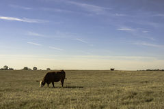 Commerical cows in wide open field. Two commercial beef cows in a flat, wide-open field of bermuda grass with blue sky - horizontal format royalty free stock photo