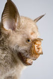 Commerson's leaf-nosed bat. Royalty Free Stock Photos