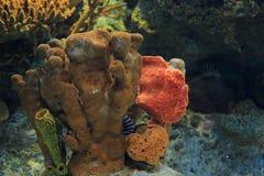 Commerson frogfish Royalty-vrije Stock Afbeeldingen