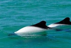 commerson s delfinów Fotografia Royalty Free