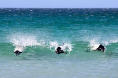 Commerson's Dolphins (Cephalorhynchus commersonii) Surfing off t Royalty Free Stock Photos