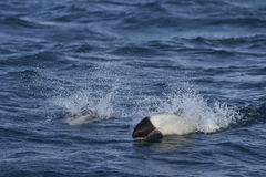 Commerson's Dolphin (Cephalorhynchus commersonii) Royalty Free Stock Photography