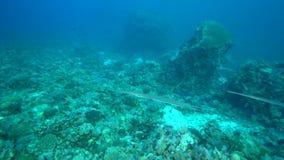 Commersonii do Fistularia do Cornetfish no coral do Mar Vermelho Sudão video estoque
