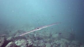 Commersonii do Fistularia do Cornetfish no golfo de Fujairah UAE Omã video estoque