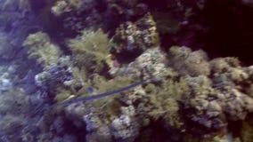 Commersonii do Fistularia do Cornetfish no Mar Vermelho vídeos de arquivo