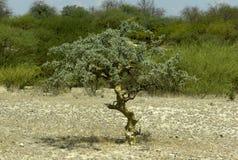 Commiphora myrrha tree Royalty Free Stock Images