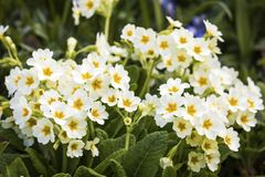 Common primrose in  bloom stock images