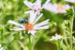 Commom greenbottle fly eating a nectar of aster perennial flower stock photo