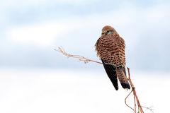 Commom kestrel on a tree. Reci natural reserve Royalty Free Stock Images