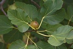 Commomn fig (Ficus carica) Stock Photo