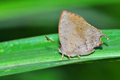 Common Acacia Blue butterfly. On leaf from Thailand background Royalty Free Stock Image