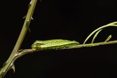 Common Acacia Blue caterpillar Stock Photos