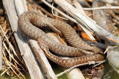 Common adder basking in situ Royalty Free Stock Photos
