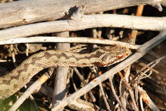 Common adder basking on twigs Royalty Free Stock Image
