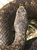 Common adder - dorsal view Stock Photos