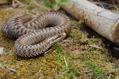 Common adder Stock Photos