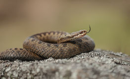 Common Adder Stock Images