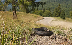 Common adder in natural habitat Royalty Free Stock Images