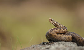 Common Adder. A common Adder in the Peak District National Park Royalty Free Stock Images