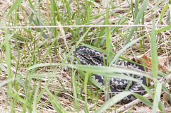 Common adder or viper snake on grass Royalty Free Stock Photography