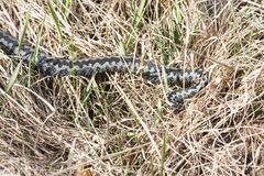 Common adder or viper on the ground Royalty Free Stock Photography