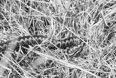 Common adder or viper on the ground Royalty Free Stock Photo