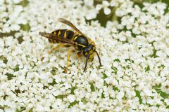 Free Common Aerial Yellowjacket - Dolichovespula Arenaria Stock Photos - 191981673
