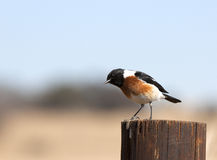 Common African Stonechat bird Stock Photos