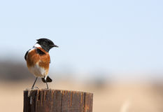 Common African Stonechat bird Royalty Free Stock Image