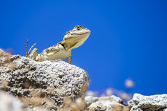 The Common Agama  (Agama agama) Royalty Free Stock Photography