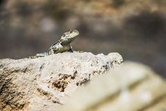The Common Agama  (Agama agama) Stock Image