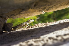 The Common Agama  (Agama agama) Royalty Free Stock Photo
