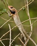 The common agama. Agama is both the genus name of a group of small, long-tailed, insectivorous Old World lizards as well as a common name for these lizards Royalty Free Stock Photo