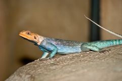Common Agama Lizard Stock Photo