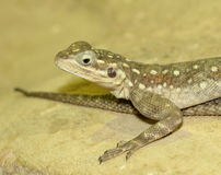 Common Agama Lizard Stock Images