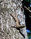 Common Agama Lizard Gecko Royalty Free Stock Image
