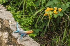 Common Agama on wall with bougainvillea Royalty Free Stock Photos