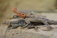 Common agamas Stock Photography