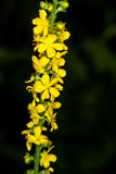 Common agrimony Royalty Free Stock Photography