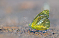 Common Albatross butterfly. In Nature on sand Stock Images