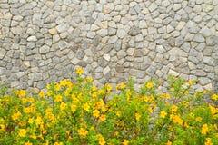 Common allamanda. Allamanda cathartica L.,Allamanda, also known as Yellow Bell, Golden Trumpet or Buttercup Flower stock photos