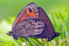 Common Alpine butterflies breeding Royalty Free Stock Photography
